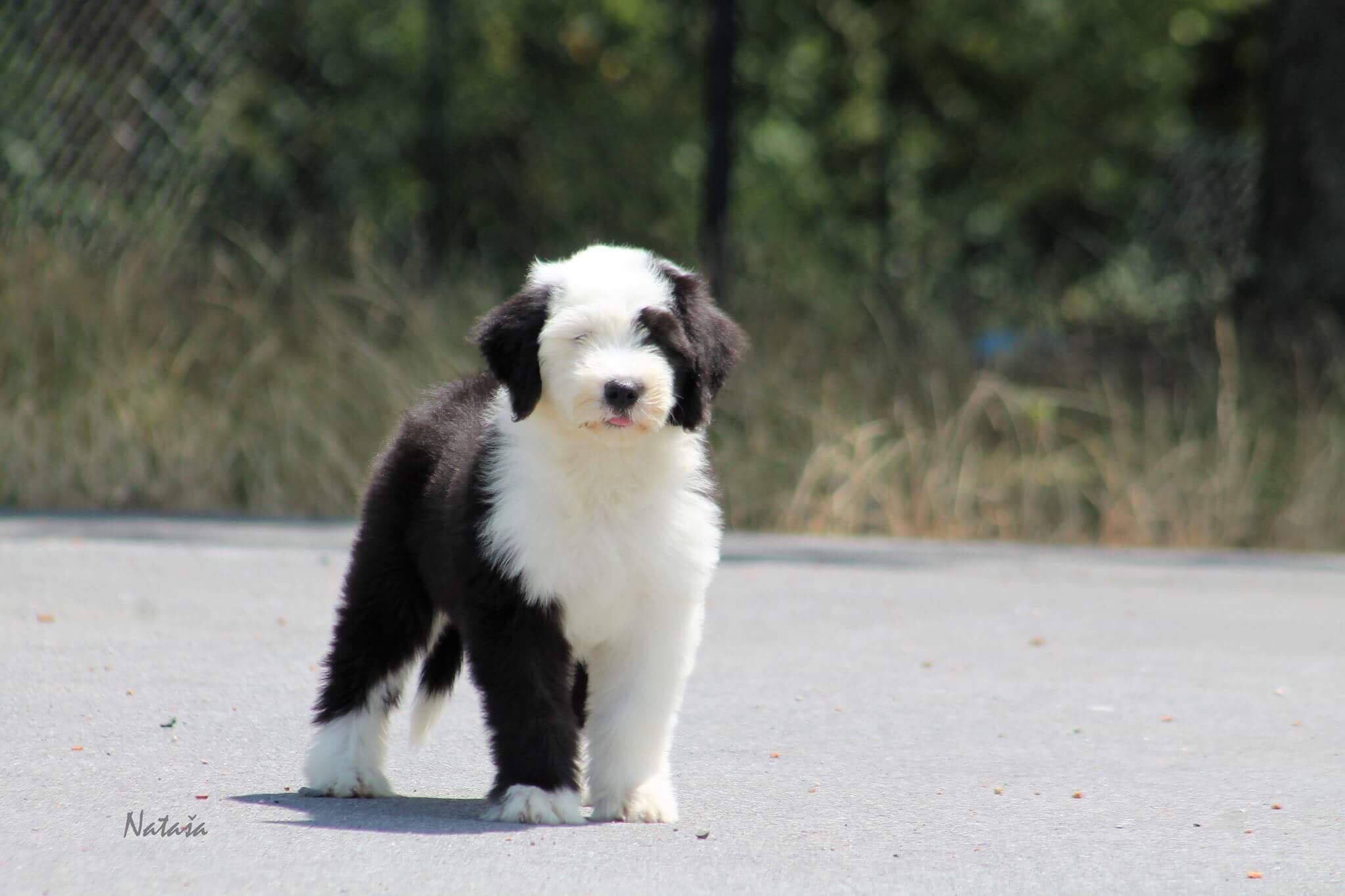 Sheepadoodles Puppies for Sale Eckert, Colorado | Open Range Pups